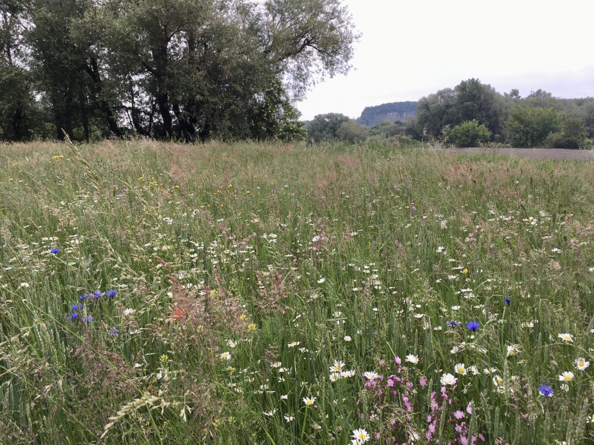 blühende Wiese als Ökokonto-Ausgleichsfläche im bayernhafen Regensburg